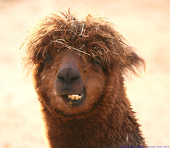 Hair today...gone tomorrow... (law_keven) Tags: england hairy alpaca animals dof bokeh teeth colchester colchesterzoo blueribbonwinner explore500 mywinners