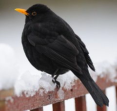 Snowy Day (earlyalan90 away awhile) Tags: winter turdusmerula naturesfinest avianexcellence citrit goldstaraward natureselegantshots goldenheartaward thewonderfulworldofbirds