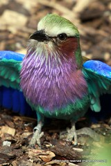 Roller ({ Planet Adventure }) Tags: bird wow photography bravo thebest londonzoo travelguide travelphotography intrepidtraveler traveltheworld worldexplorer amazingplanet intrepidtravel spiritofphotography photographyhunter