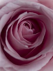 (_Zahira_) Tags: pink detalle flower macro rose lafotodelasemana flor rosa olympus nd petalo ngr e500 uro 100vistas 35mmmacro ltytr1