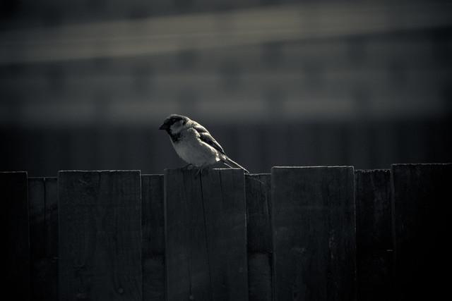010511_ Mr Sparrow #1