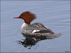 Common Merganser Duck (mmmee) Tags: nature duck naturesbest mims naturesfinest commonmerganserduck canons3is mywinners platinumphoto anawesomeshot makeitamegashot goldstaraward