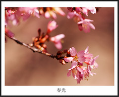 Light of the Spring (avirus) Tags: pink flower tree nature cherry dc spring blossom bokeh georgetown frame 70200lis