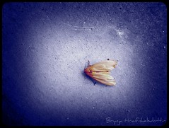 Feeling blue (Brynja Hra) Tags: blue italy animal animals photoshop butterfly insects flutterby invertebrates singintheblues blr diamondclassphotographer flickrdiamond