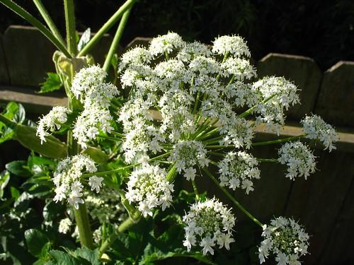 Heracleum lanatum