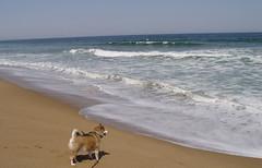 shiba versus the ocean