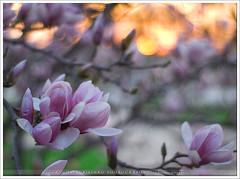 Magnolia Sunset (:: Igor Borisenko Photography ::) Tags: flowers sunset fab sun tree spring nikon dof bokeh pennsylvania quality vivid best magnolia allrightsreserved highquality firstquality flickrsbest nikond80 igorb81 igorborisenkophotography 18nikkor50mm