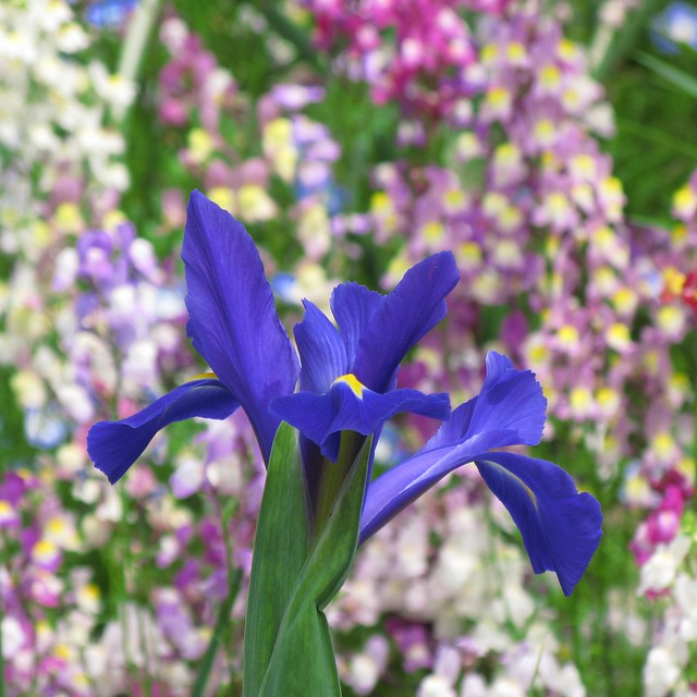 Iris laevigata / 杜若(カキツバタ)
