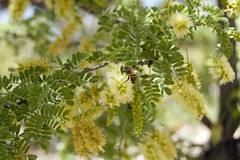Mesquite Tree Blossoms with Bee (desertdutchman) Tags: arizona nikon blossom bee mesquite mission pollen tumacacori d40
