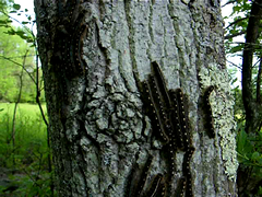 Dancing Caterpillars (citybumpkin) Tags: hokeypokey dancingcaterpillars