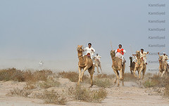 Camel race (KamiSyed.) Tags: wedding pakistan man men kids women culture arab desi pakistani punjab cultural punjabi islamabad weddingphotographer rawalpindi urdu taxila weddingphotography woaman studio9 weddingphotographs weddingpix kamisyed kamransafdar chinak