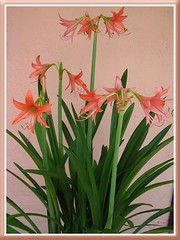 Potted Orange Hippies (Hippeastrum hybrid) at our backyard, June 2008