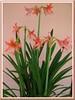 Hippeastrum hybrid (Amaryllis, Hippies, Barbados Lily)