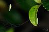 080610 桃園 龜山 茶小綠葉蟬 Jacobiasca formosana (Paoli, 1936) (Bettaman) Tags: 桃園 paoli 東方美人茶 formosana 椪風茶 白毫烏龍茶 小綠葉蟬 jacobiasca