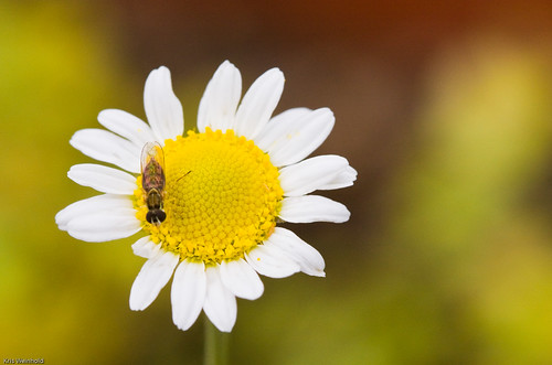 Bee on Chamomile Flower