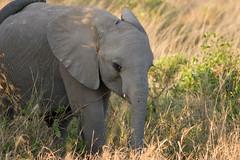 Baby Elephant (philshoe) Tags: africa nature animals canon kenya wildlife safari mara animalplanet masai tsavo lightroom amboseli