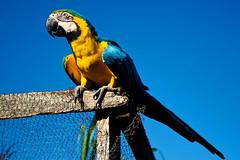 Azure (-Passenger-) Tags: blue sky bird colors fence colombia parrot sharp loro papagaio guacamaya granja medellín araararauna urbanfarm elpesebre barrioelpesebre