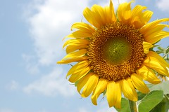 Sunflower (metin.gul) Tags: cloud nature sunflower gnebakan ayiei