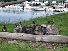 Ducks_essex70508