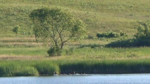 8 Swans