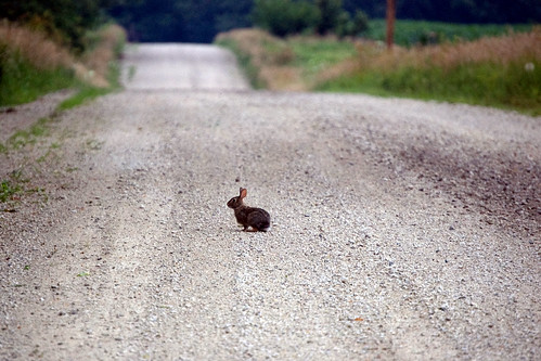 Rabbit on gravel road