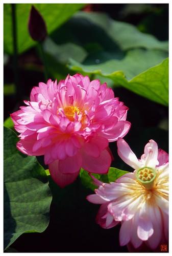 Lotus 20080712 #01