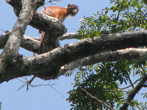 a curious red colobus overhead