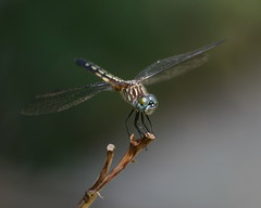 Spotted dragonfly, perched