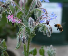 Borage & bee