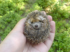 You wake me up to take that picture ! (BlueLunarRose) Tags: cute nature animal explore hedgehog cuteanimal hedg aug12008465