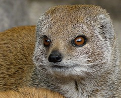 don't mess with the yellow mongoose (e) Tags: portrait lille mongoose yellowmongoose cynictispenicillata rijsel vosmangoest cynictis redmeerkata