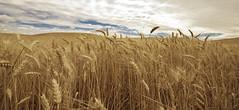 Wheat Fields of Palouse (sshermanphoto.com) Tags: plant yellow clouds washington state farm wheat horizon fields miles lightroom palouse sigma1020mm nikond80