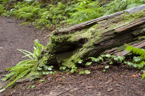 Fallen Redwood On Path