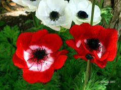 Israel Anemonies (Stellas mom) Tags: flowers nature israel redflowers naturelovers