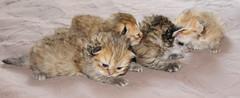 Panoramic Persians (jmvnoos in Paris) Tags: pet cats pets paris france cat persian chats nikon chat pussy kitty panoramic kitties pussies persians chaton chatons d300 persan persans jmvnoos