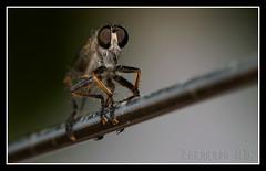 asilus-cabroniformis-16 (Xavi GM) Tags: naturaleza insectos macro nature insect macros bichos bicho macrophoto insecto macrophotography macrofotografia nikond300 fernandogm
