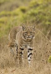 bobcat (matt knoth) Tags: published bobcat wildcat camoflage marinheadlands lynxrufus felidae submitit forcronopio bigasadog