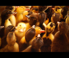 The Bird Market. Part 4 of 8. (Desmond Kavanagh) Tags: colour cute bird yellow duck iran adorable persia bazaar esfahan