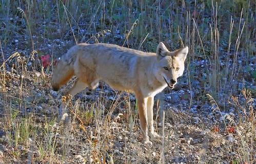 3-legged Coyote, Lamar Valley, Yellowstone - 0138b