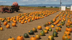Pumpkin Field IMG_1450.JPG Photo
