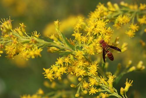 Goldenrod Fall