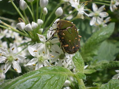 Small Creatures in the Garden #13 (tt64jp) Tags: flower green nature grass japan bug insect japanese beetle    insekt  chafer insetto insecte gunma  insecto kiryu     chinesechives  garlicchives  flowerchafer     gametisjucunda citrusflowerchafer