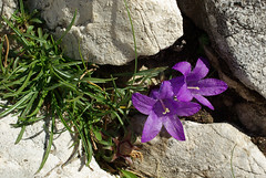 Campanule (ab07) Tags: gransasso campanule cornogrande edraianthus plantefleurs phanrogame