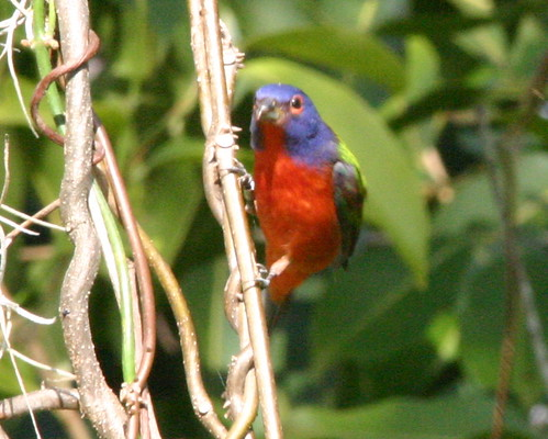 Painted Bunting 20081204