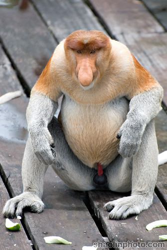 Mature Male Proboscis Monkey