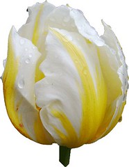 Tulipe1 (Michel NOL 850k + views .Thanks to visits) Tags: macro fleur michel tulipe rungis noel michelnoel