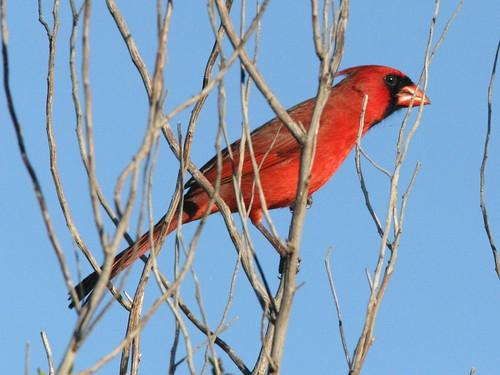 Northern Cardinal 20081229