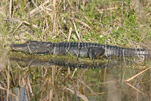 Alligator 20081229