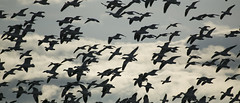 68EV5095-1 (sgbaughn) Tags: geese goose snowgeese snowgoose
