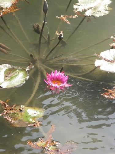 close lotus.JPG